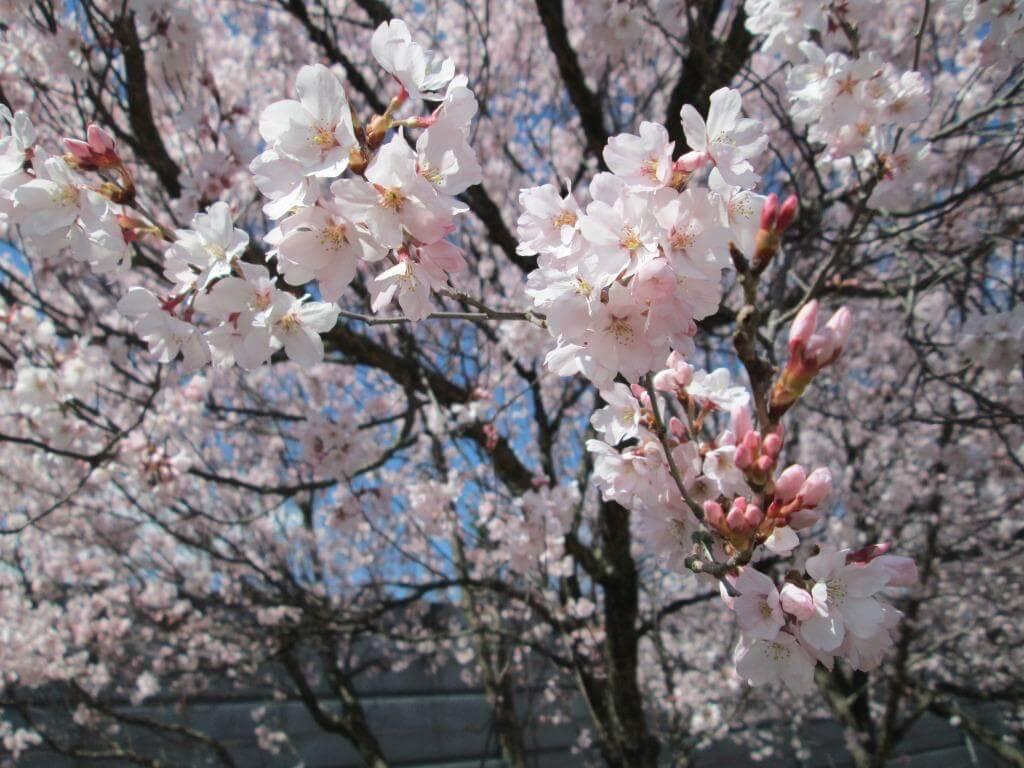 キレイに咲いた桜のアップ