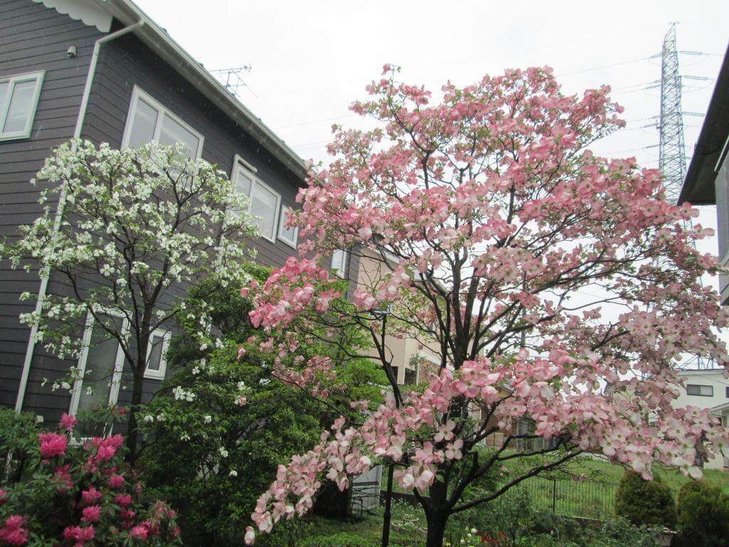福島市のお客様のお庭に咲いた紅白のハナミズキの花