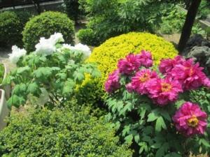 福島市のお客様のお庭にキレイに咲いたボタン