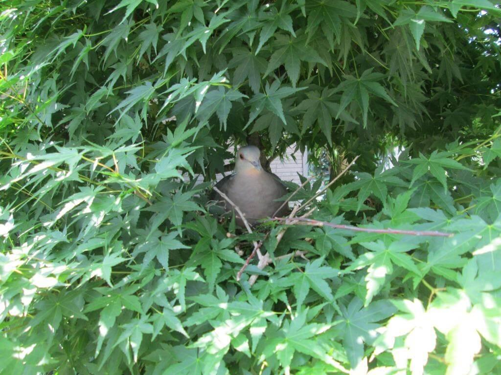 茂ったモミジの中に巣を作ったハト