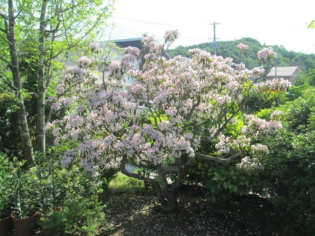 見事に花が咲いたカルミア