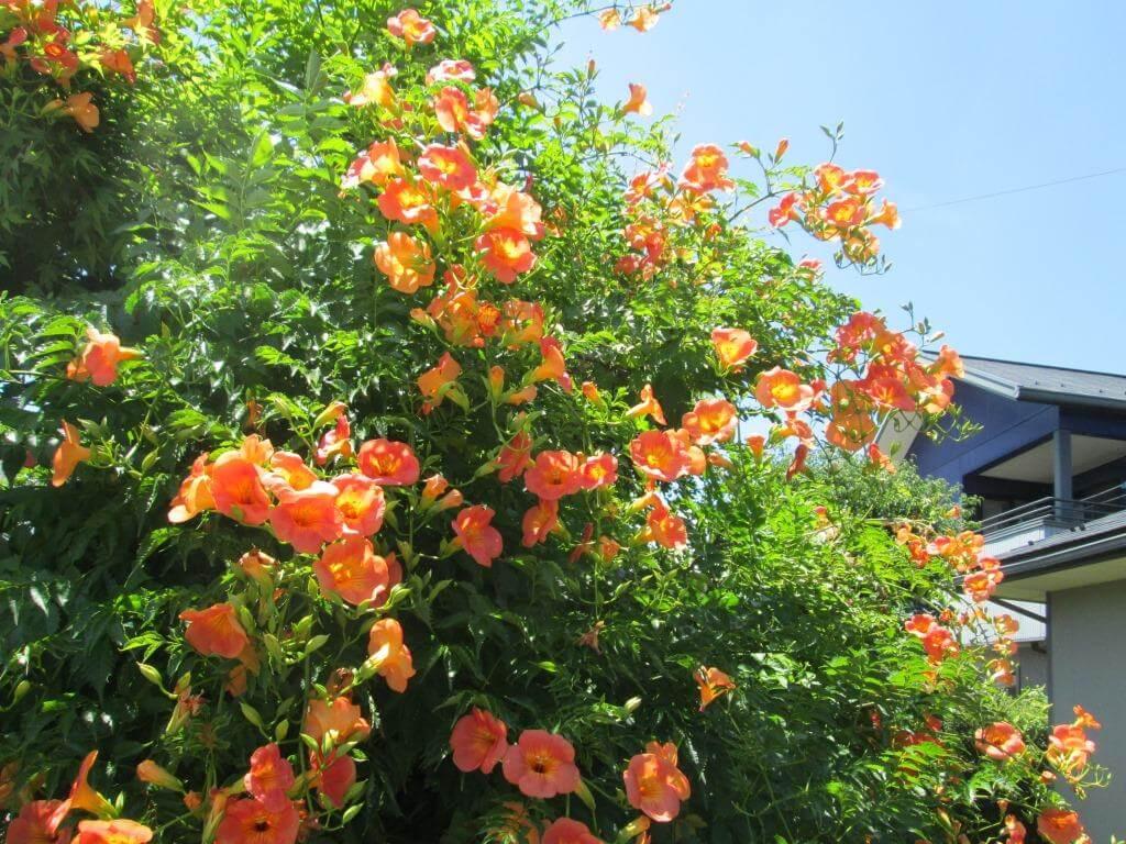 見事に花を咲かせたノウゼンカズラのアップ