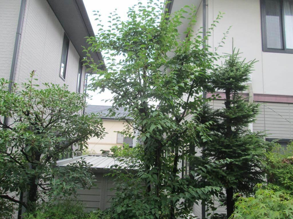 剪定前の伸び放題のエゴの木