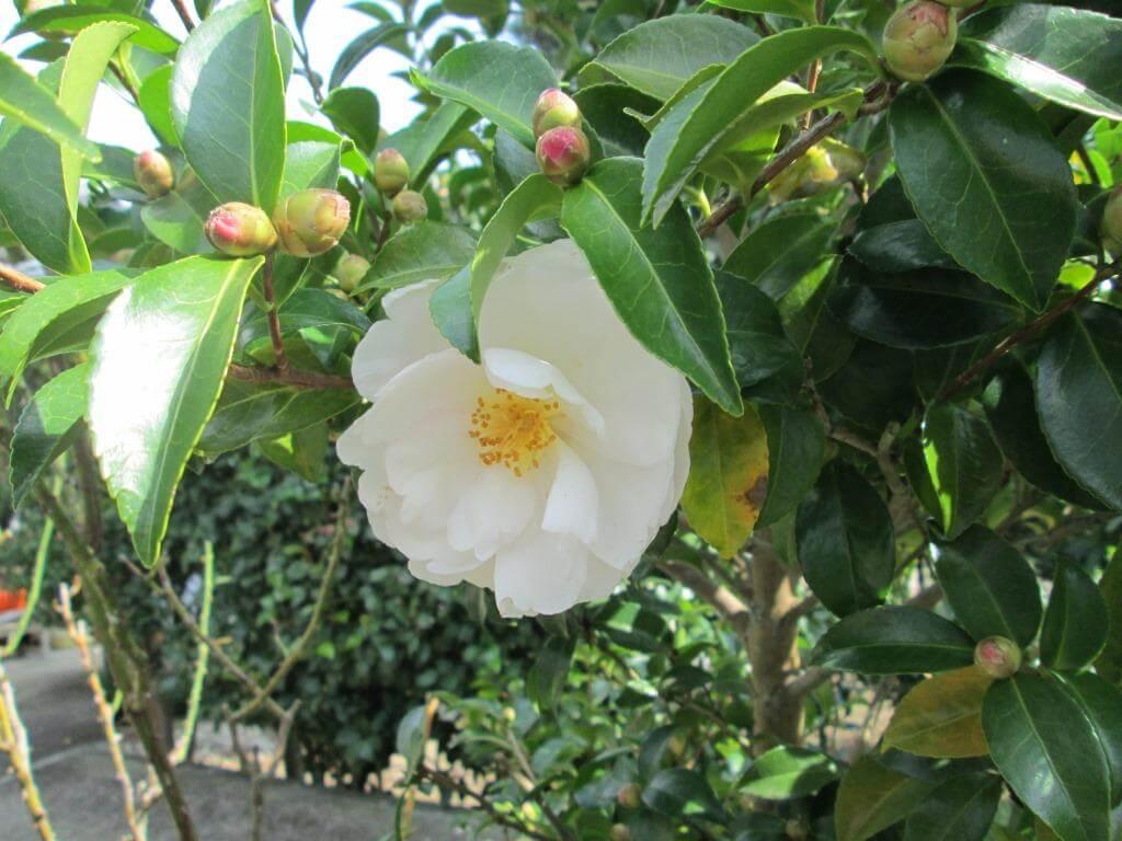 キレイに咲いた山茶花(サザンカ)