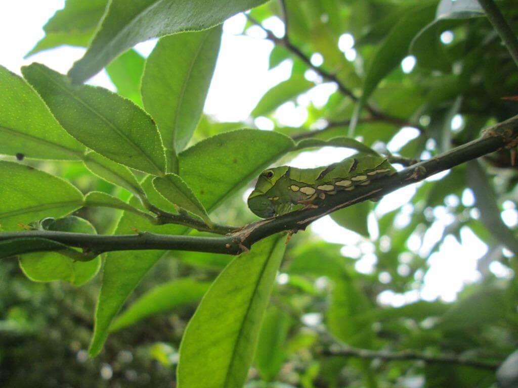 柚子の枝にいたアゲハチョウの幼虫