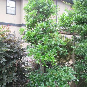 青々と葉が茂るモッコク