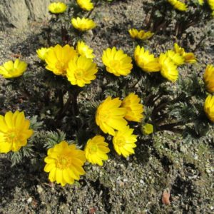 キレイに咲いた福寿草