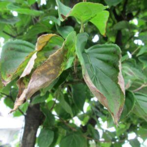 水枯れしている樹木の葉