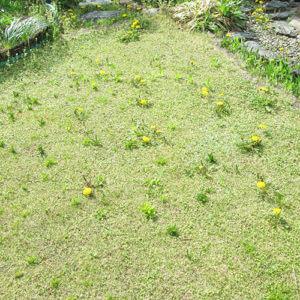 雑草が生えてしまった芝生