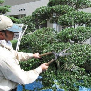 庭木をきれいに剪定する職人