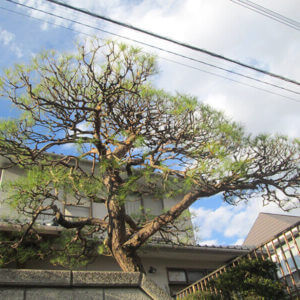 庭の松の木