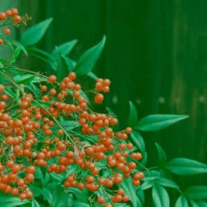 庭を赤く彩るナンテン