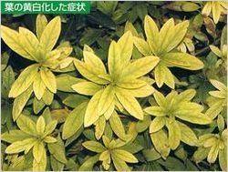 黄色化した葉