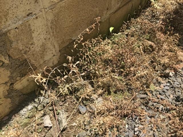 除草剤で枯れた雑草